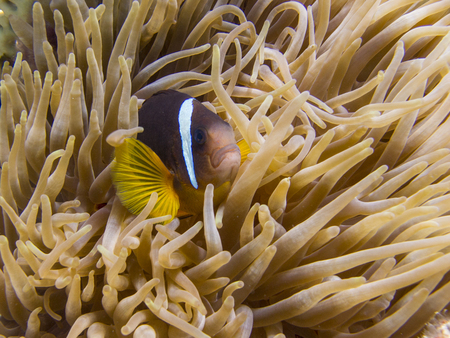 Reds Sea Anemonefish (clownfish) in an Anemone - Underwater at dive site Bannerfish Bay in Dahab, Egypt.