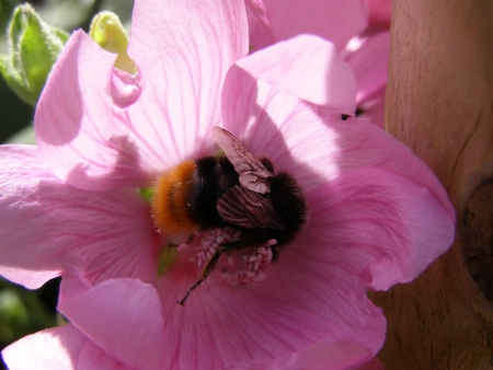 roze: flower with bumblebee Stock Photo