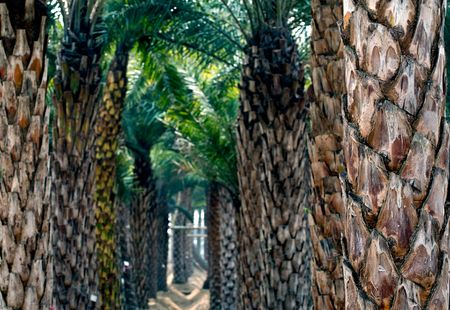 The rows of palm trees at tree farm