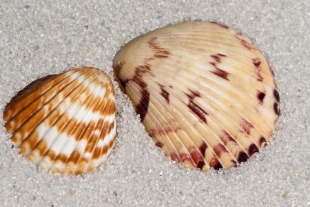 Close up example of Cockle shell on the sand