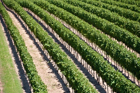 Niagara on the Lake landscape of the vineyard field Stock Photo - 10910059