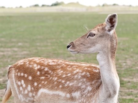 Portrait of a white-tailed deer.