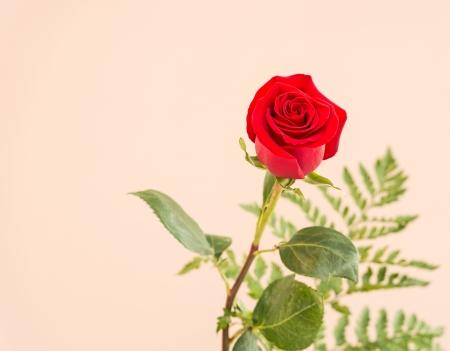 Red rose image 版權商用圖片