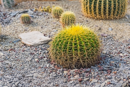 Round shape cactus growing on rocky grounds Banco de Imagens