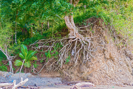 catalina: Washed out tree roots on Pacific shore in Santa Catalina in Panama. Archivio Fotografico