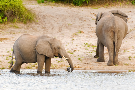 chobe: The family of elephants coming to the Chobe River in Botswana.