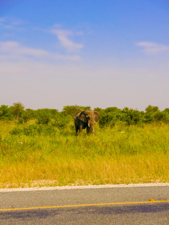 encounters: Close encounters with elephant at the road in Botswana Stock Photo