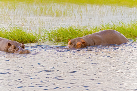 encounters: Close encounters with hippopotamus in Chobe river in Botswana