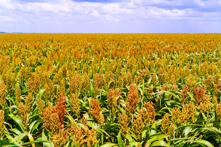 sorgo: Sorgo, nombre com�n de pastos-ma�z como nativas de �frica y Asia, donde han sido cultivadas desde la antig�edad. El sorgo planta campos en Botswana.