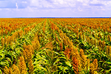 Sorghum, common name for maize-like grasses native to Africa and Asia, where they have been cultivated since ancient times. The sorghum plants fields in Botswana.