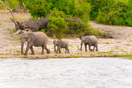 safari animals: The family of elephants coming to the Chobe River in Botswana.
