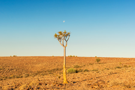 dichotoma: Quiver tree (Aloe dichotoma) typical tree in the Namib desert landscape Stock Photo