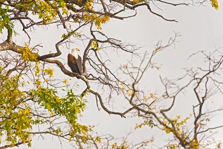 chobe national park: African Fish Eagle Landing Chobe River Chobe National Park Botswana