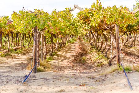 wineyard: Wineyard in Western Cape in Soauth Africa. Stock Photo