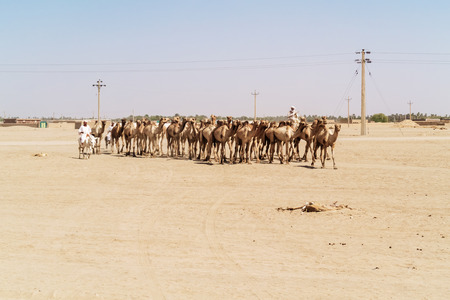 sahara: Sahara desert, Sudan - January 26, 2015: Herd of camels walking in Sahara desert in Sudan