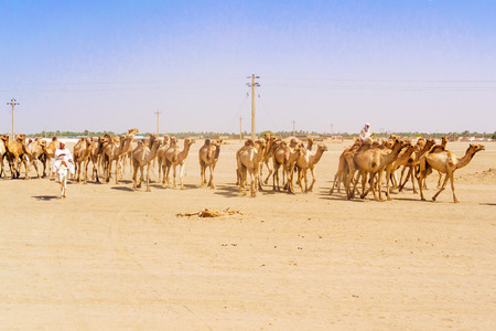 Sudan: Sahara desert, Sudan - January 26, 2015: Herd of camels walking in Sahara desert in Sudan