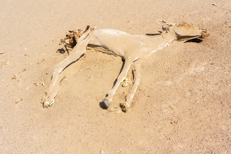 sahara desert: Skeleton of the donkey in Sahara desert in Sudan
