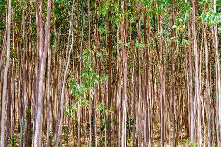 eucalyptus trees: View at the eucalyptus trees growing in Ethiopia near Dangla