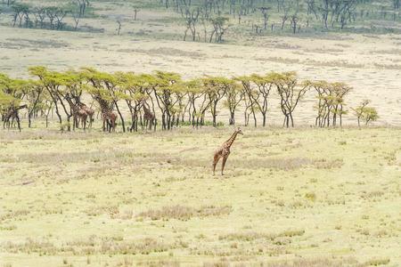 Giraffe in the wilderness at  Serengeti National Park in Tanzania