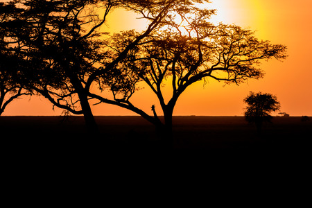 east africa: Sunset landscape and Giraffe in Serengeti National Park in Tanzania in East Africa