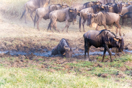 taurinus: Large herd of Connochaetes taurinus, Blue Wildebeest, crossing river in  Serengeti National Park in Tanzania