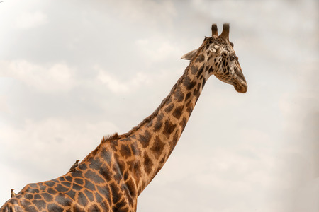 east africa: Giraffe in Serengeti National Park in Tanzania in East Africa