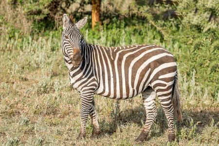 land mammals: Wild zebras in Serengeti National Park in Tanzania in East Africa Stock Photo