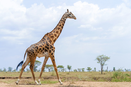 Giraffe in Serengeti National Park in Tanzania in East Africa