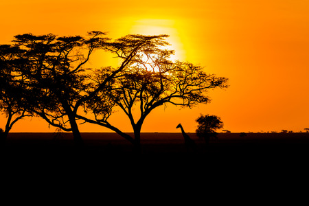 Sunset landscape and Giraffe in Serengeti National Park in Tanzania in East Africa