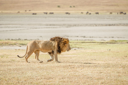 tanzania: Lion  in Serengeti National Park in Tanzania. Stock Photo