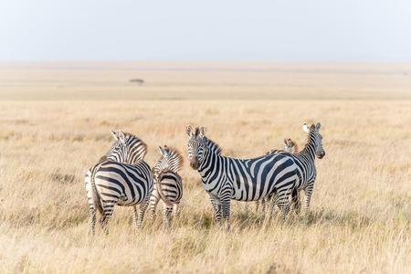 land mammal: Posing wild zebras in Serengeti National Park in Tanzania in East Africa Stock Photo