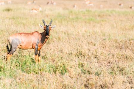 tanzania antelope: Wild Impala antelope in Serengeti National Park in Tanzania posing to the picture