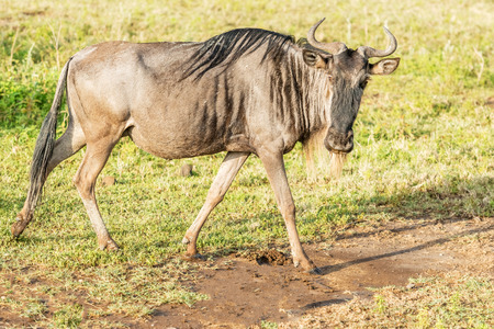 taurinus: Connochaetes taurinus, Blue Wildebeest, walking in savannah in  Serengeti National Park in Tanzania Stock Photo