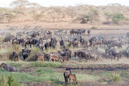taurinus: A large herd of Blue Wildebeest, Connochaetes taurinus, and zebras in Serengeti  National Park in Tanzania