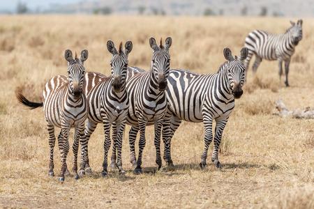 land mammals: Posing wild zebras in Serengeti National Park in Tanzania in East Africa Stock Photo