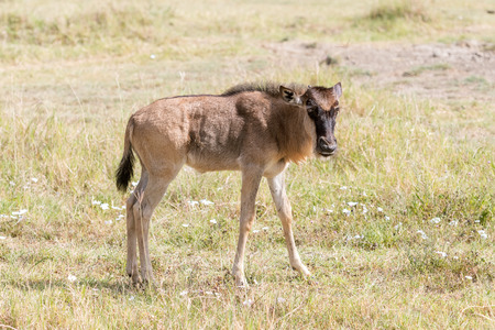 land mammals: Connochaetes taurinus, Blue Wildebeest, walking in savannah in  Serengeti National Park in Tanzania Stock Photo