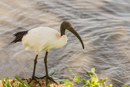 east africa: African Sacred Ibis (Threskiornis aethiopicus) stands on the rock. Ngorongoro Crater, Tanzania, East Africa. Stock Photo