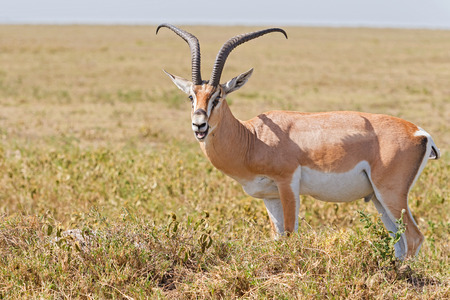 tanzania antelope: Posing wild Impala antelope in Serengeti National Park in Tanzania Stock Photo