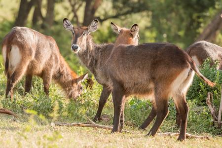 tanzania antelope: Defassa Waterbuck antelope, Kobus ellipsiprymnus defassa, is standing in the dry grass of the Ngorongoro Park in Tanzania,
