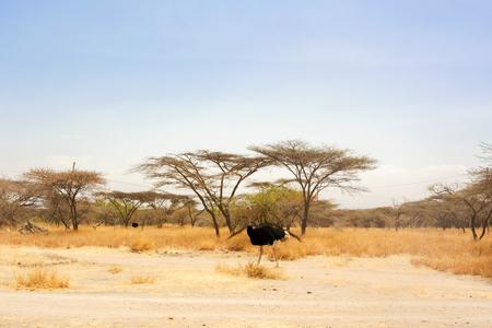 Wild Ostrich walking in Aidjatt Shalla National Park in Ethiopia