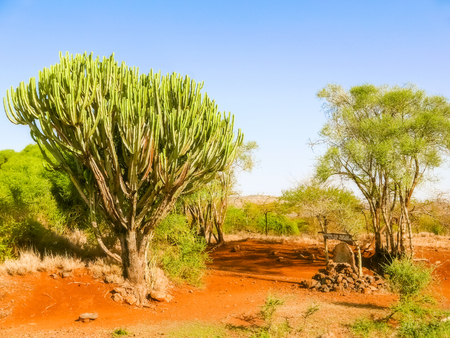candelabrum: View at the candelabra euphorbia tree and some other trees near Isiolo in Kenya