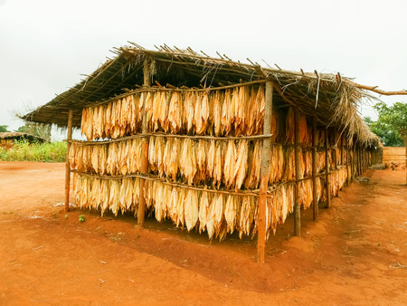 Drying leafs of tobacco in small village of Dzoole in Malawi.