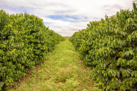 View at the rows of coffee plants at the plantation near Lusaka in Zambia.