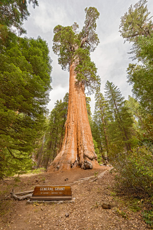 general: General Grant Tree in Kings Canyon National Park, California, USA