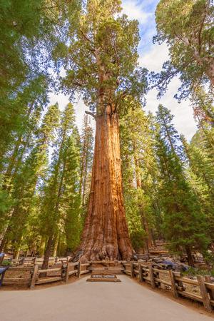 huge tree: General Sherman Tree huge trunks in Sequoia National Park, California USA