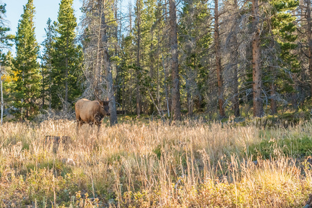 rocky mountains colorado: Elk walking out of wood in The Rocky Mountains National Park in Colorado Stock Photo