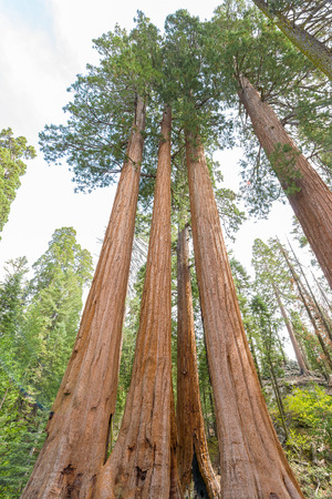 sequoia: View at Gigantic Sequoia trees in Sequoia National Park, California USA