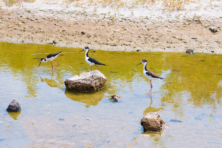 necked: Black necked stilts in a pond on Santa Cruz island of Galapagos