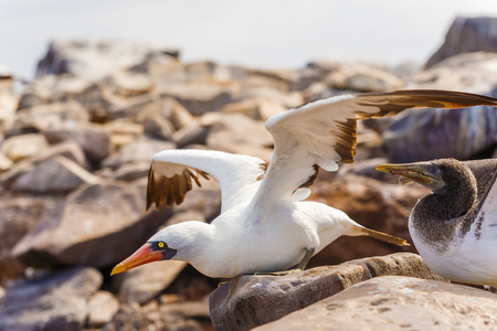 Nazca Booby on lava rock in Espanola Island, Galapagos