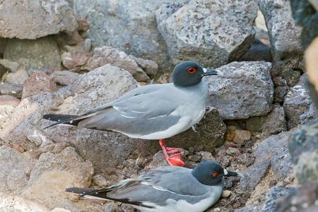tailed: Swallow tailed gull on Isla Plaza Sur, Galapagos, Ecuador Stock Photo